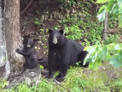 Bear Watching Tours